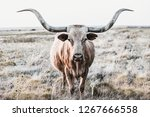 longhorn cow shows off her horns | Shutterstock . vector #1267666558