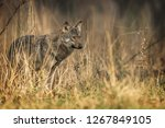 gray wolf  canis lupus  | Shutterstock . vector #1267849105
