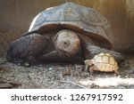 Stock photo cute portrait of baby tortoise hatching africa spurred tortoise birth of new life closeup of a 1267917592