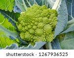 Organic Ripe Green Romanesco...