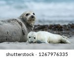 Grey Seal Pup With Mother ...