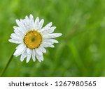 beautiful field daisy on... | Shutterstock . vector #1267980565