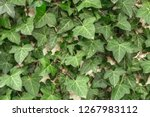 a wall of common ivy. usuable... | Shutterstock . vector #1267983112