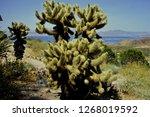 close up of teddy bear cactus...   Shutterstock . vector #1268019592
