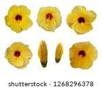 yellow flower hibiscus rosa...   Shutterstock . vector #1268296378