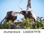 Mother Bald Eagle Feeding Eaglet