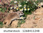 young suricata and chamomile.... | Shutterstock . vector #1268411248