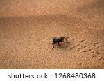 black beetles  darkling beetles ...   Shutterstock . vector #1268480368