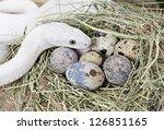 White Texas Rat Snake On A...