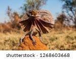 Frill - necked Lizard