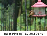 tiny female northern cardinal... | Shutterstock . vector #1268659678