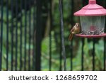 tiny female northern cardinal... | Shutterstock . vector #1268659702