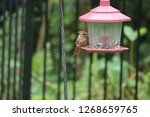 tiny female northern cardinal...   Shutterstock . vector #1268659765