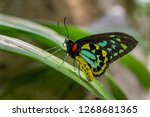 close up of a male cairns... | Shutterstock . vector #1268681365