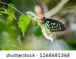 close up of a male cairns... | Shutterstock . vector #1268681368