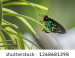close up of a male cairns... | Shutterstock . vector #1268681398