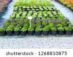 purple campanula flowers... | Shutterstock . vector #1268810875