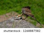 common kestrel got a lizard | Shutterstock . vector #1268887582