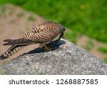 common kestrel got a lizard | Shutterstock . vector #1268887585