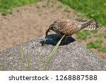 common kestrel got a lizard | Shutterstock . vector #1268887588
