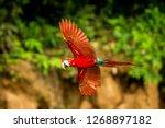 red parrot in flight. macaw... | Shutterstock . vector #1268897182