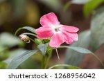 Pink White Flower Of Impatiens...