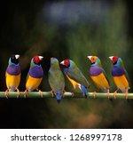 Gouldian Finch In Birdcage