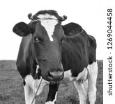 cow black and white portrait in ... | Shutterstock . vector #1269044458