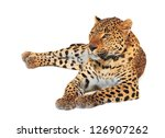 Leopard  Panthera Pardus  On...