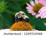 Bumblebees  Bombus Sp.  Mating...