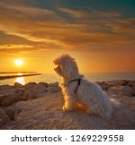 Maltichon Pet Dog Relaxed Looking - Fine Art prints