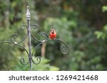 red male northern cardinal... | Shutterstock . vector #1269421468