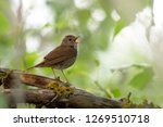 common nightingale  luscinia... | Shutterstock . vector #1269510718