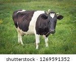 cow portrait full length in a... | Shutterstock . vector #1269591352