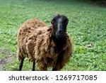 Постер Черную овцу с