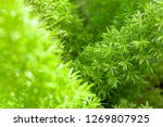 young green leaves plant... | Shutterstock . vector #1269807925