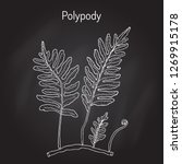 common polypody  polypodium... | Shutterstock .eps vector #1269915178