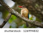 African Brown Hooded Kingfisher