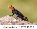 namib rock agama | Shutterstock . vector #1270245592