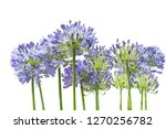 Agapanthus. Cropped Blossoms As ...