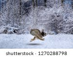 Stock photo hare with an aviator cap runs on the snow 1270288798