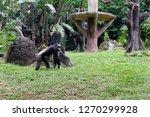 ape known as orang utan. asian... | Shutterstock . vector #1270299928