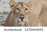 Closeup Lioness In Detailed...