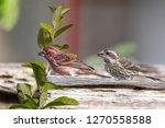 purple finch pair feeding in... | Shutterstock . vector #1270558588