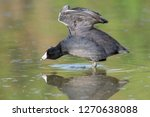 American Coot Stretching With A ...