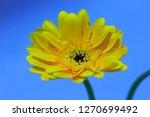 yellow gerbera on a blue sky... | Shutterstock . vector #1270699492