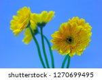 yellow gerbera on a blue sky... | Shutterstock . vector #1270699495