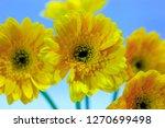 yellow gerbera on a blue sky... | Shutterstock . vector #1270699498