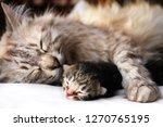 Stock photo mother cat and newborn kitten hugs 1270765195