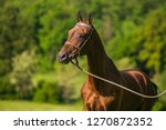 young brown reddish stallion of ... | Shutterstock . vector #1270872352